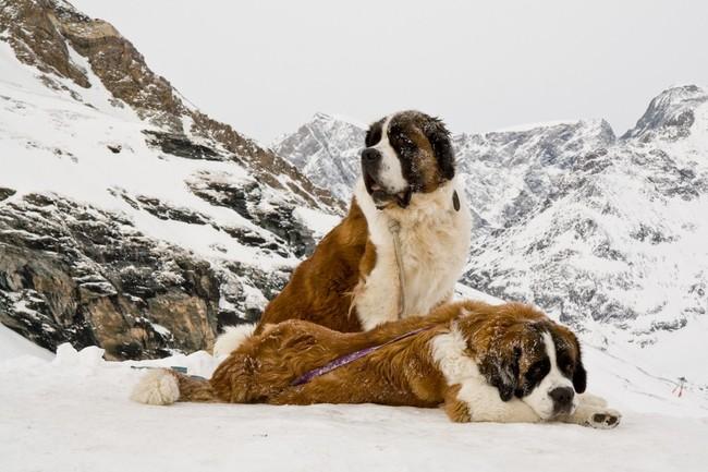 Psy Bernardyny leżące w górach