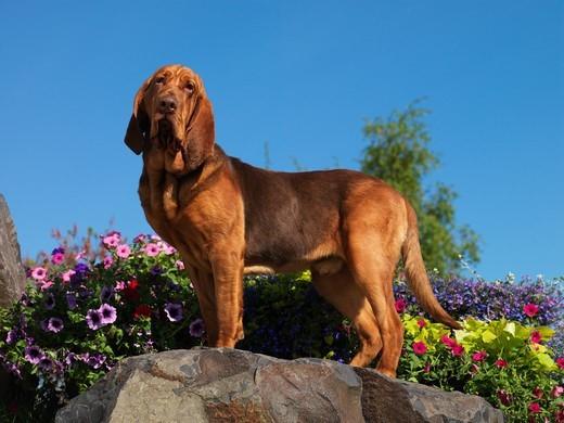 Pies pochodzący z Belgii Bloodhound