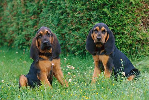Śliczne szczeniaki psa rasy Pies swietego huberta