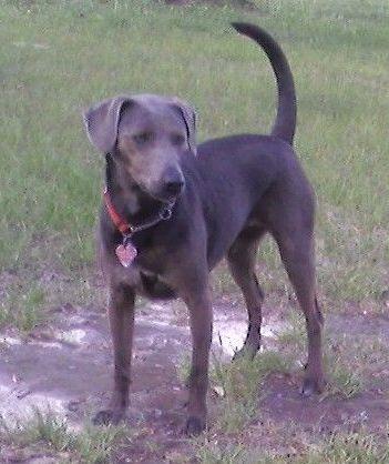 Pies Niebieski Lacy