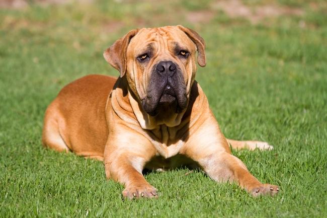 Rasa psa Mastiff afrykański (Boerboel)