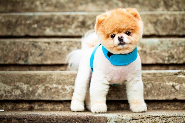 Boo szpic miniaturowy sławny pies z Fejsa