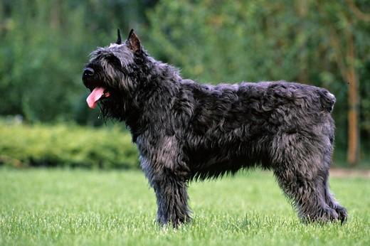 Piękny pies rasy Bouvier des Flandres