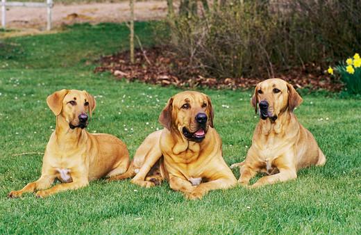 Trzy psy rasy Broholmer leżące w ogródku