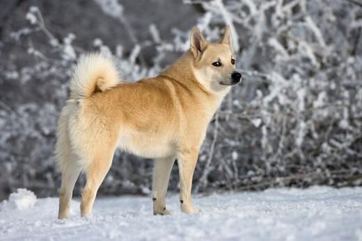 Buhund norweski