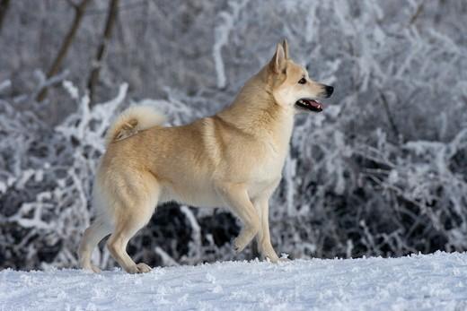 Pies rasy Buhund norweski.