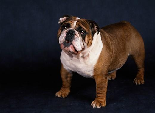 Pies rasy Buldog angielski