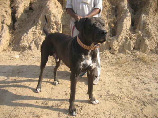 Bully Kutta rasa psów z Pakistanu