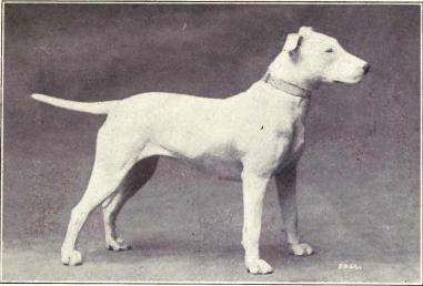 Bulterier zdjęcie z 1915 roku