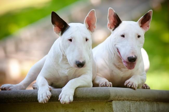 Psy rasy Bull terrier