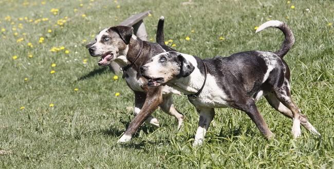 Dwa psy dog hog catahoula