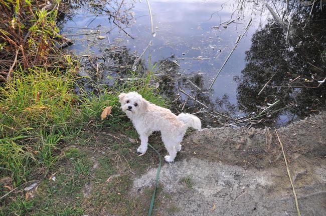 Cavachon psia hybryda