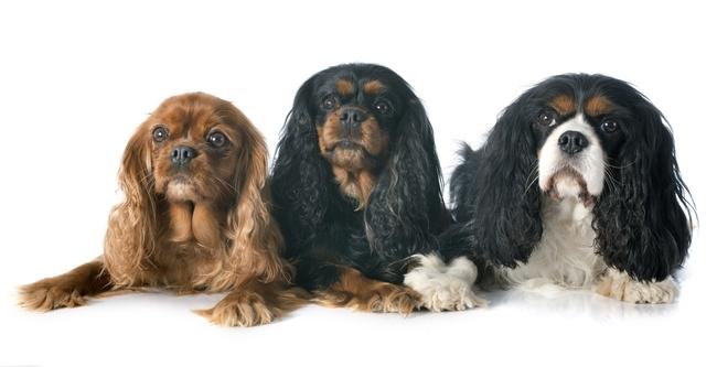 Popularna rasa psów Cavalier king Charles spaniel