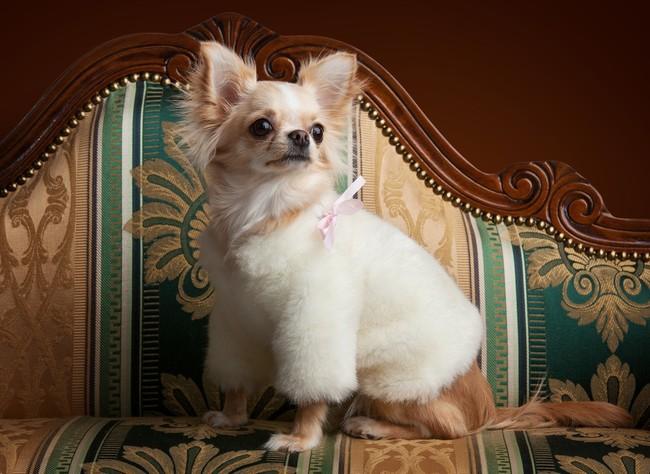 Chihuahua na sofie