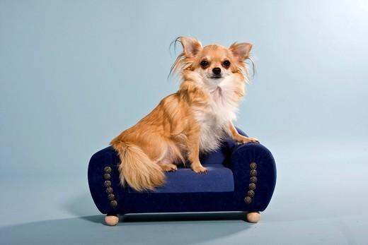 Lista najdroższych psów świata Chihuahua