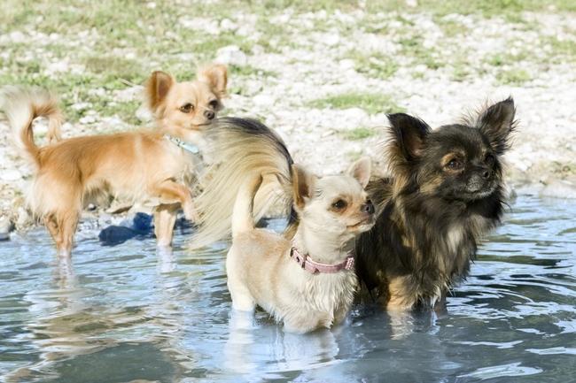 Małe pies Chihuahua