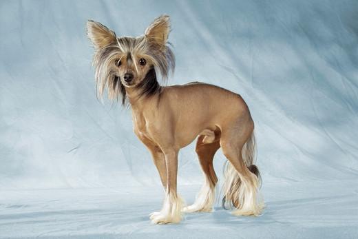 Chłodny Psy ozdobne i do towarzystwa FR09