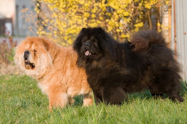 chińskie rasy psów