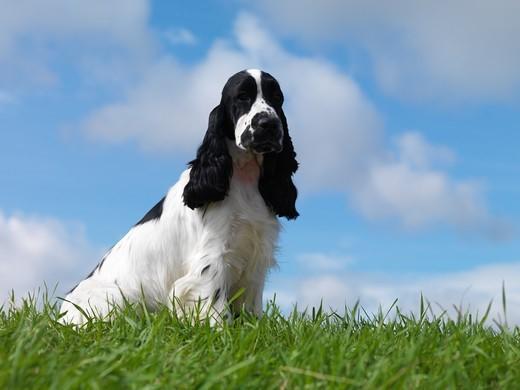 Pies rasy Cocker spaniel angielski