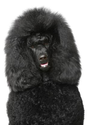 Czarny duży pies Pudel duzy