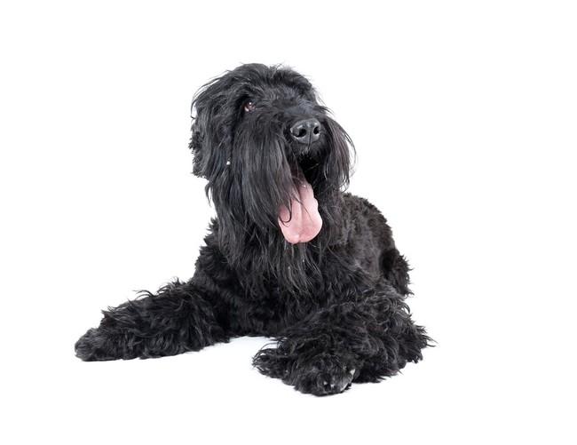 Pies rasy Czarny Terier Rosyjski