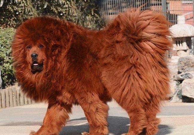Najdroższy pies na świecie Mastif tybetański Red Lion