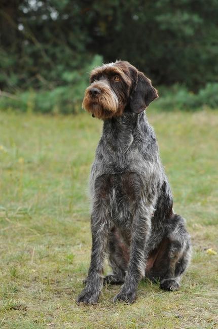 Czeska rasa psów wyżeł czeski szorstkowłosy