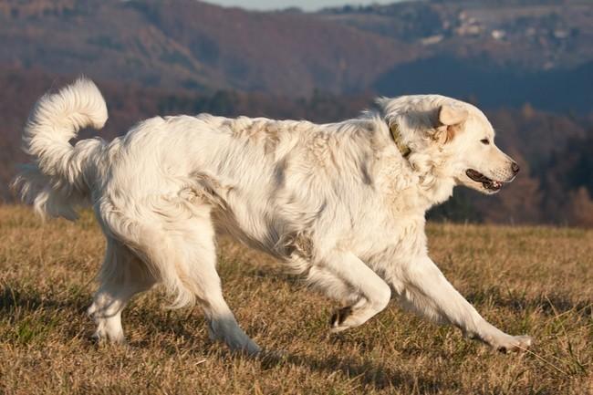 Biegnący pies Czuwacz słowacki