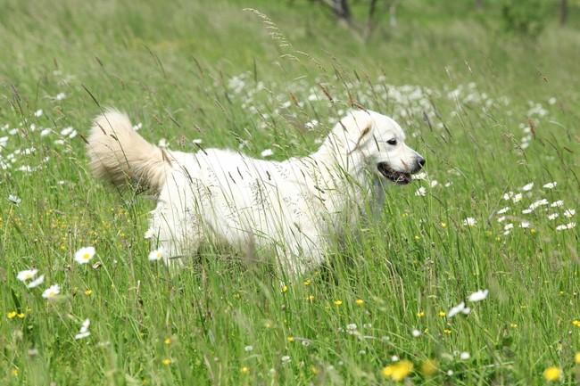 Pies Czuwacz słowacki