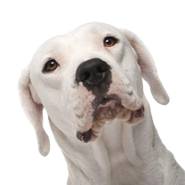 [Obrazek: dog-argentynski1024.jpg]