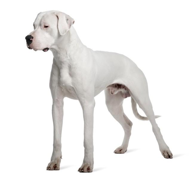 Zdjęcie psa Dog argentyński