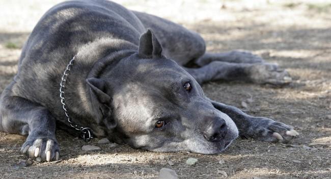 Pies rasy dog kanaryjski