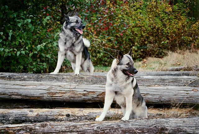 Psy Elkhund szary na spacerze w lesie