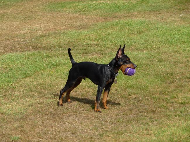 Pies rasy Angielki Toy Terrier