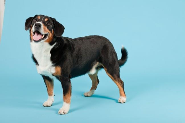 Pies ze Szwajcarii Entlebucher