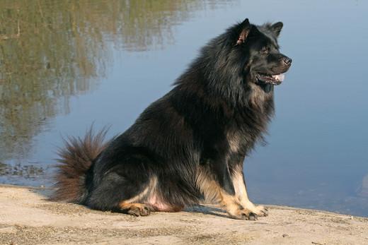 rasy psów na e eurasier