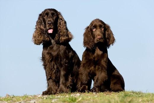 Dwa psy rasy Field spaniel