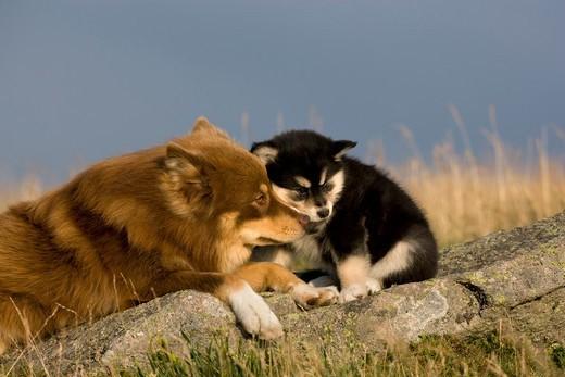 Suka z młodym psem rasy Fiński Lapphund