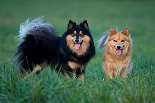 Psy rasy Fiński lapphund