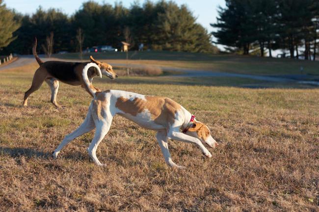 Foxhound amerykański na spacerze