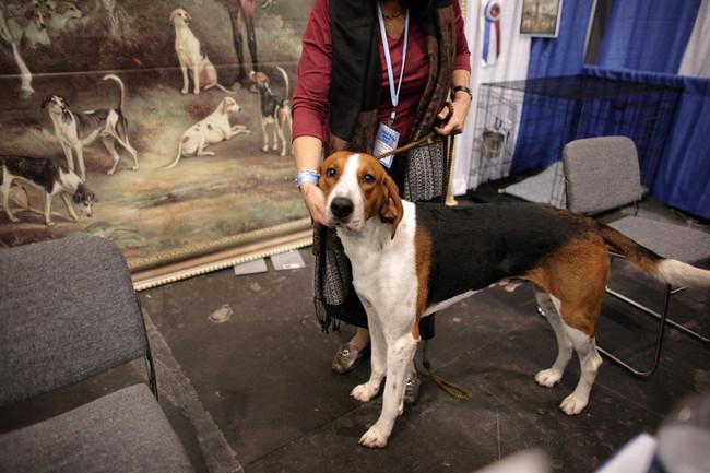 Foxhound amerykański na wystawie psów rasowych