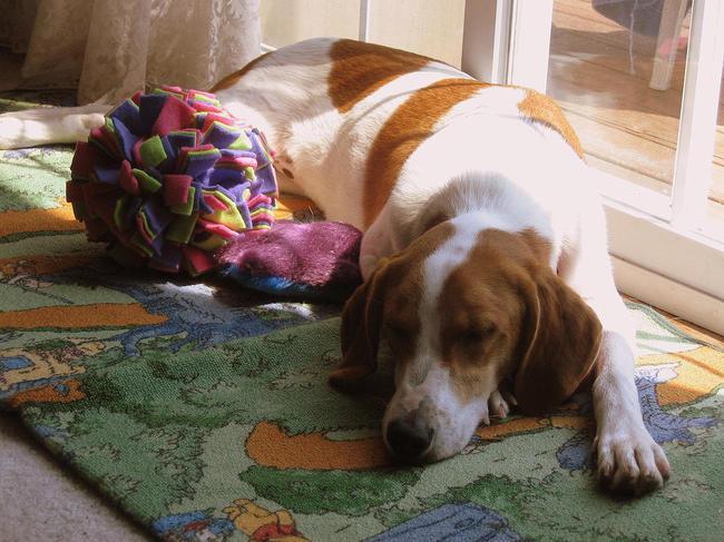 Śpiący Foxhound amerykański przy drzwiach balkonowych
