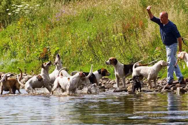 Grupa psów gończych rasy Foxhound angielski
