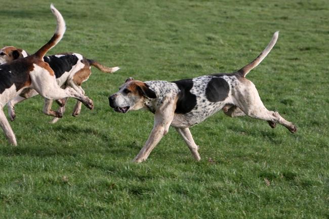 Biegnące psy rasy Foxhound angielski