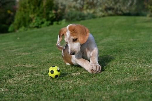 Szczeniak rasy Foxhound angielski z piłeczką