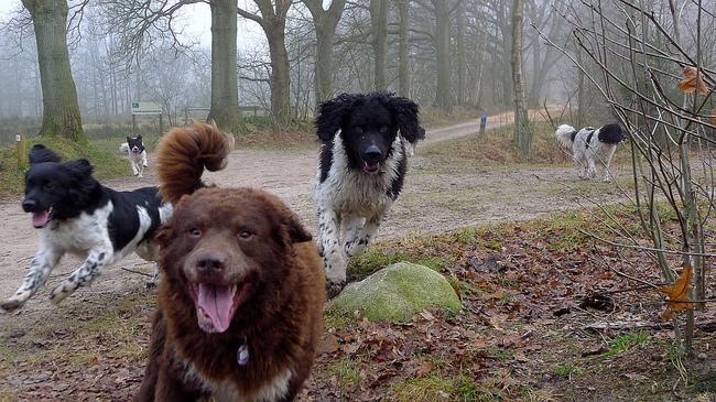Psy rasy - Fryzyjskie psy wodne na spacerze w parku
