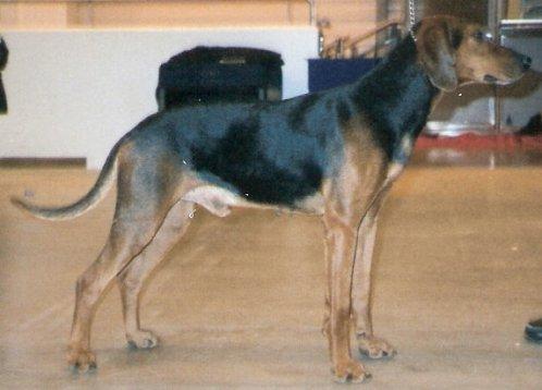 Pies Gończy Schillera