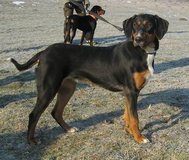 Gończy węgierski rasa psów pochodząca z Wegier