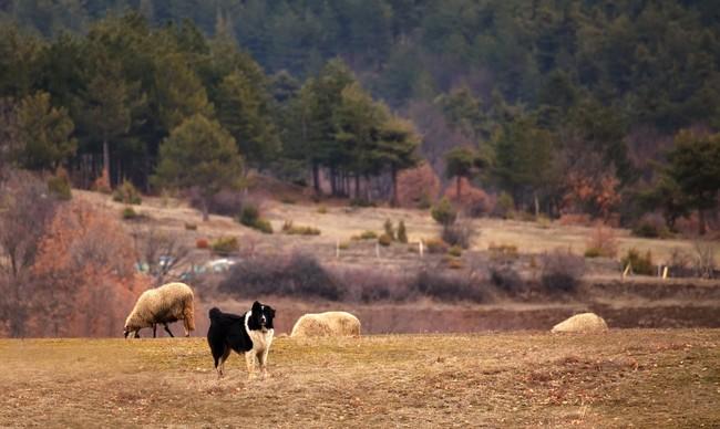 Pies pasterski pilnujący stada owiec.