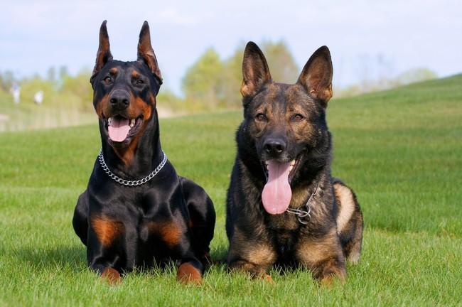 Psy Doberman i Owczarek niemiecki krótkowłosy